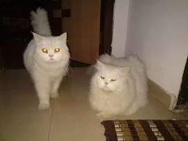 Arabic Persian Cat's Are Available in Jharkhand