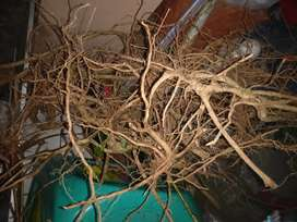 Akar senggani, akar harendong akar aquascape bahan bonsai