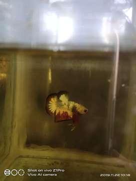 Ikan cupang  fancy Cooper  fccp