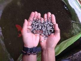 Jual Benih Ikan Air Tawar Berkualitas