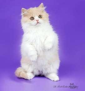 cute kitten cash on delivery sale