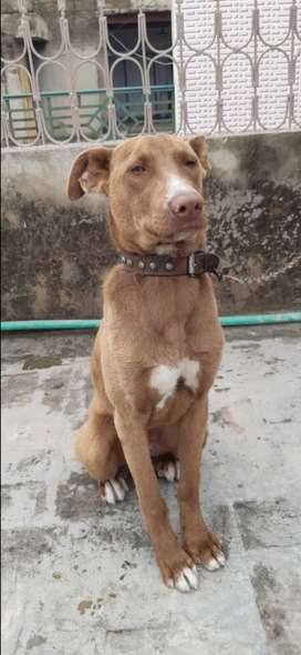 ITS A CROSS OF PITBULL