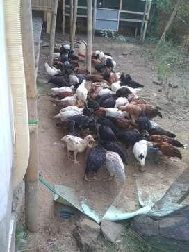 Yg minat ayam kampung bisa satuan