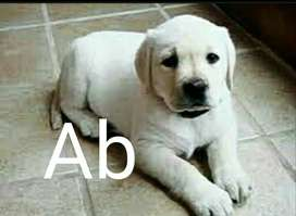 Labrador High quality puppies are available in fawn colors
