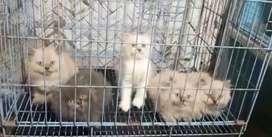 Lepas adopsi kitten himalaya usia 2,5 bln,mahar mulai 1,2-1,5