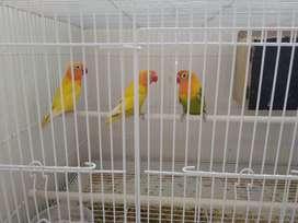Jual burung love bird harga Rp 600.000 bisa nego