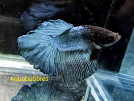 Imported ohm bettas up for sale certified quality