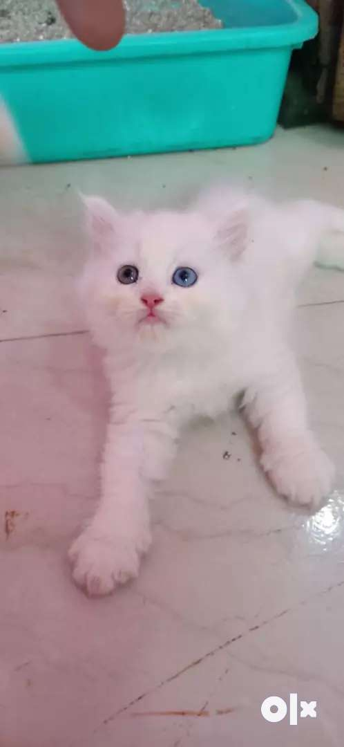 Pure Persian kittens available for sale 0