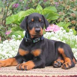 Doberman imported puppy