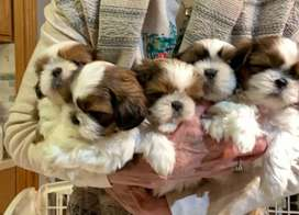 Shihtzu imported Line puppies