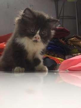 Kucing persia jantan taxido color umur 2bln+