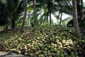 Coconuts bulk
