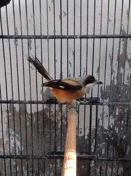 Burung pentet jabar