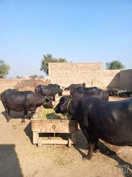 best buffaloes in nilli ravi