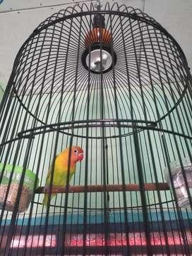 Lovebird brisik