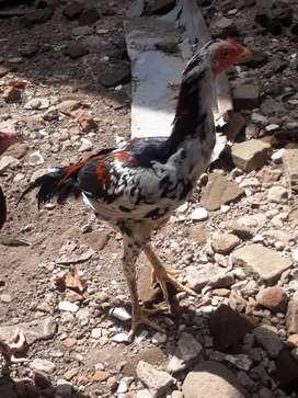 Ayam bangkok kualitas mantabb.tra jawara