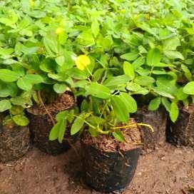 Green Rohmat # landep / kacang- kacangan dan jenis tanaman lainnya