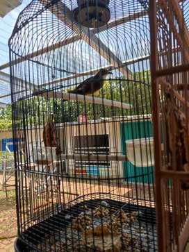 Burung cucak jenggot lokal jawa