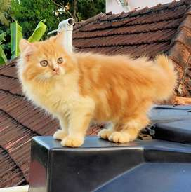 Two persian cats(male&female)