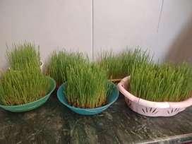 Organic Weat grass