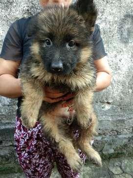 Anak anjing Herder/ german shepherd