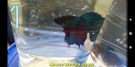 Betta Fish - Fighter Fish