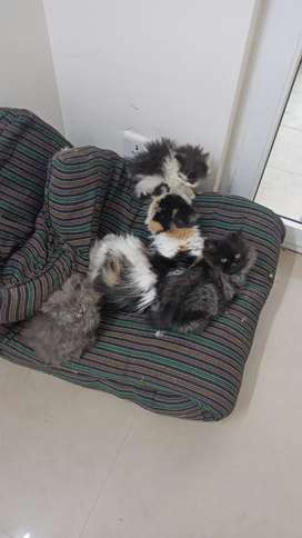 Persian Cats and Kittens available