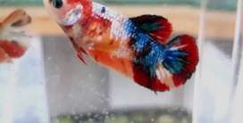 Ikan cupang kalatau abu