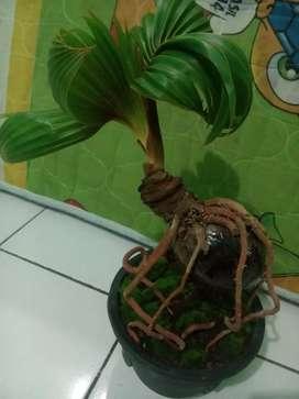 Bonsai kelapa indonesia