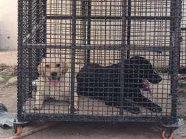 Pair of good quality labra female of golden color and male of black.