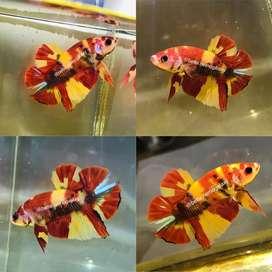 Ikan Cupang Plakat Nemo Yellow Base (Grade A+)
