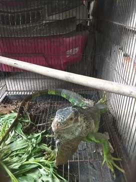 Iguana jenis green