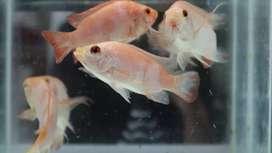 Ikan air tawar Lampung unggul