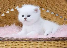 45 day old kitten for sale