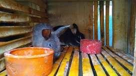 Kelinci Hias jenis lokal , Rex dan Nederland