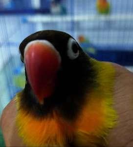 love bird hijau hitam
