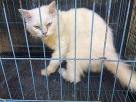 Kucing persia jantan mata unik