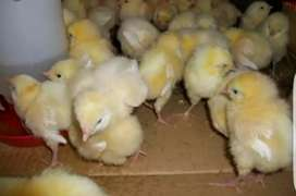 2 chicks for Rs 100 - Day Old Broiler chicks - Rs 50 per chick