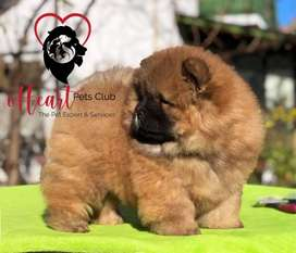 Chow Chow pup Available for Import