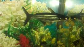 6 inch shark fish for sale