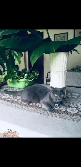 Kucing British Shorthair BSH