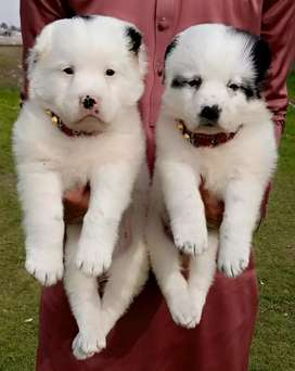 Allahabad puppies for sale