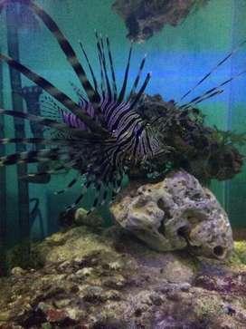 Lion fish /butterfly COD (air laut)
