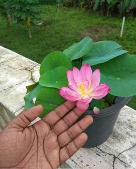 Lotus plant pink flower