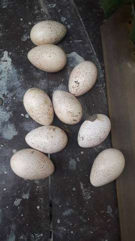 Turkey eggs for sale