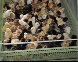 Misri Golden Chicks One Day Old
