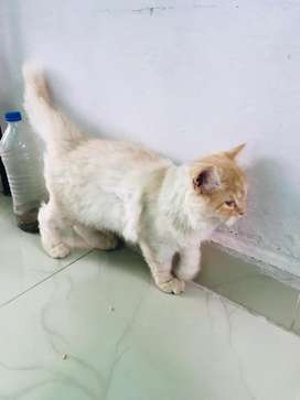 Persian kitten for sell