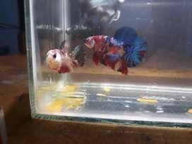 ikan cupang multi color burik