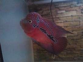 Louhan Redking Kamfa