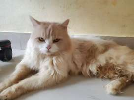 Brown n white color male age 15 month Persian